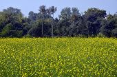 picture of mustering  - Mustered fresh green field at Khajuraho MP Central India - JPG