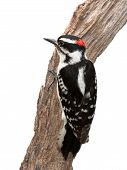picture of woodpecker  - A suspicious woodpecker clings to a piece of driftwood - JPG
