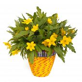 image of celandine  - Bouquet of spring flowers celandine  - JPG