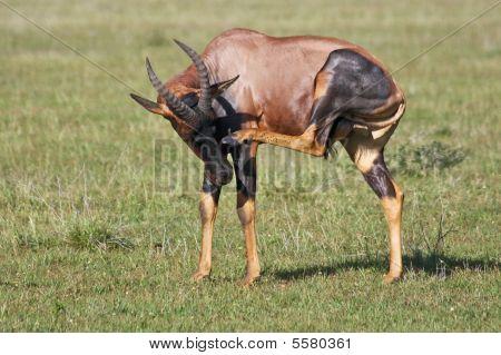 Topi Antelope Scratching