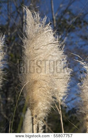 Pampas Grass Head