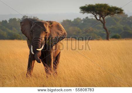 KENYA - AUGUST 12: An African Elephant (Loxodonta africana) on the Masai Mara National Reserve safari in southwestern Kenya.