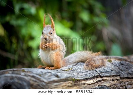 Wild pretty squirrel sitting on log