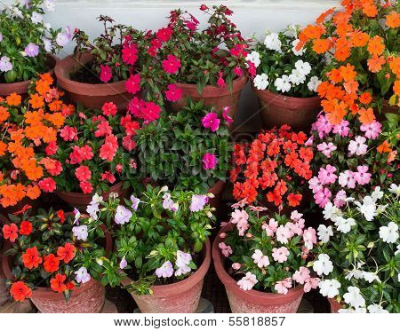 Various flowers Impatiens in containers