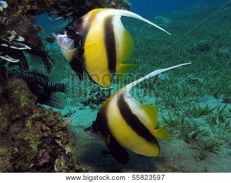 Bannerfish couple