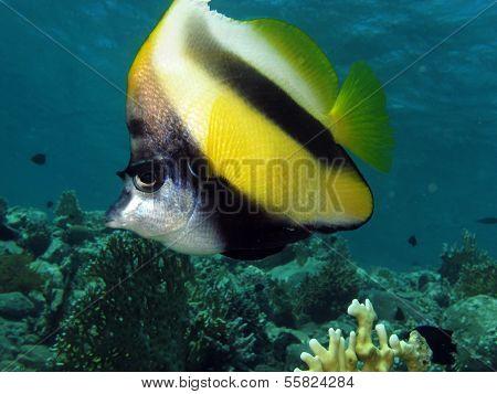 Bannerfish portrait