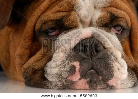 English Bulldog With Droopy Eyes