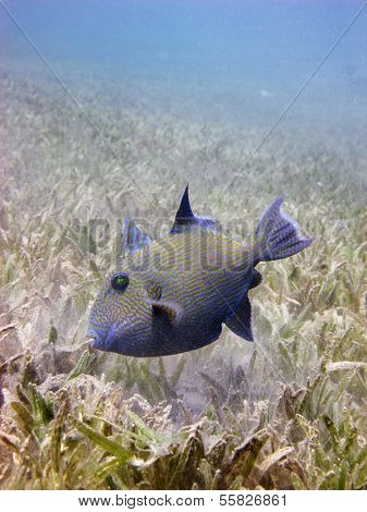 Juvenile blue triggerfish
