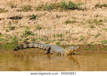Wild Caiman In The Amazon Area In Bolivia