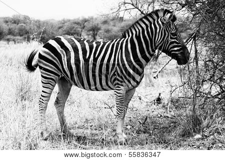 Zebra Standing Black And White Picture