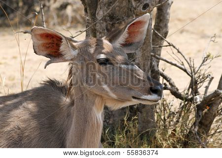 Kudu Cow Under Bushvelt Tree Listening
