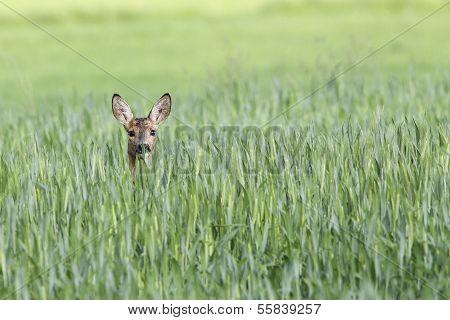 Roe-deer hidden in the Rye