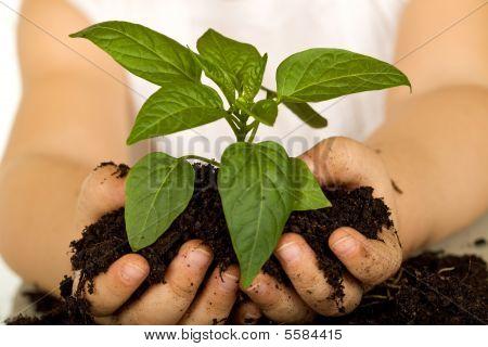Little Girl Hands Holding New Plant