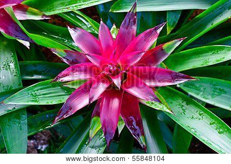 Close Up  Of Bromeliad Flower