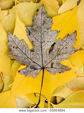 Dead Poplar Tree Leaf