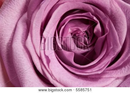 Purple Rose Macro