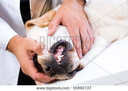 vet checks the teeth of a dog