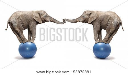 African elephants (Loxodonta africana) balancing on a blue ball.