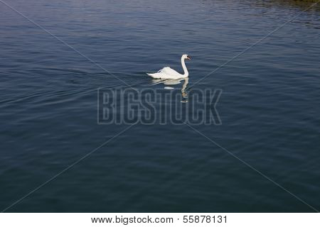 beautiful white swan in lausanne lake, switzerland
