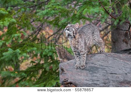 Bobcat Kitten (Lynx rufus) Stands On Log Looking Up