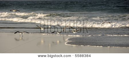 Sea Gulls Outerbanks Coastal North Carolina