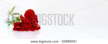 Red Flower (poppy) Before White Background