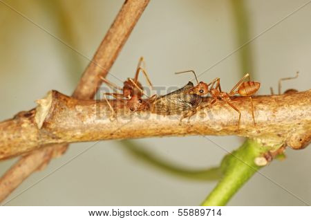 weaver ants and aphid