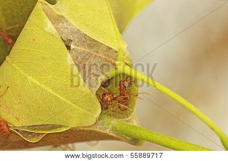 weaver ant hive