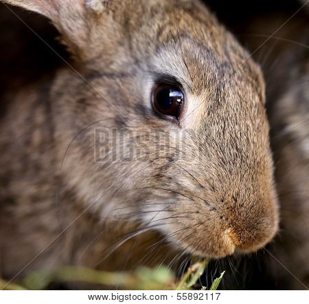 Head of brown rabbit. Close up.