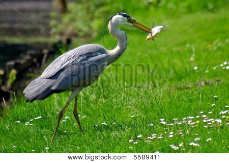 Grey Heron Bird Catching A Fish