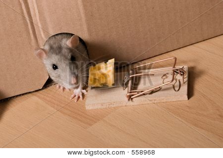Rat, Mousetrap And Cheese