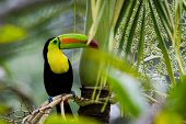image of rainforest animal  - closeup of a keel billed toucan in the rainforest of Belize - JPG