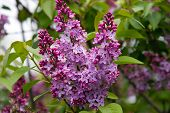 foto of lilac bush  - cluster of pink lilac blossoms - JPG
