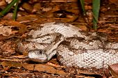 picture of harmless snakes  - A Gray Ratsnake coiled on the ground.