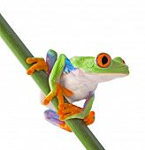 stock photo of terrarium  - red eyed tree frog isolated on white - JPG
