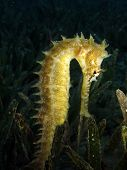 foto of seahorse  - A golden thorny seahorse in a sea of seagrass - JPG