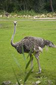 stock photo of ostrich plumage  - A Beautifully Distinctive Female Ostrich Amidst Greenery - JPG