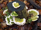 stock photo of bracket-fungus  - Trametes gibbosa fungi commonly known as lumpy bracket - JPG