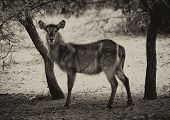 picture of bosveld  - Sepia Toned Picture of Alert Waterbuck Listening Carefully to Every Sound - JPG