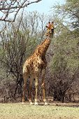 stock photo of bulge  - Strong Bodied Giraffe with bulging muscles standing next to trees - JPG