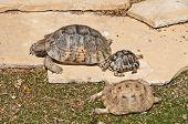 foto of testudo  - Testudo graeca graeca  is a mediterranean tortoise in catalonia - JPG