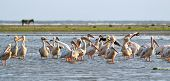 Flock Of Pelicans Standing In The Water