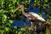 A Closeup Profile Shot of a Wild Brown and White Colored Ibis Heron Bird