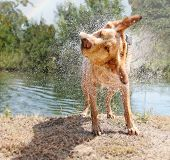 stock photo of pure-breed  - a lab mix shaking off water after swimming in a local river - JPG