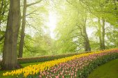 stock photo of yellow buds  - Colorful spring flowers and green  trees   in holland garden Keukenhof - JPG