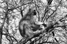 image of bosveld  - Black and White Picture of a Vervet Monkey in a Tree