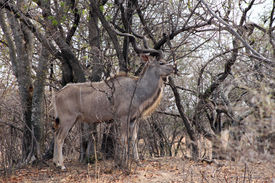 stock photo of bosveld  - Kudu Bull in Camouflage Cloak Mode Against Tree Branches - JPG