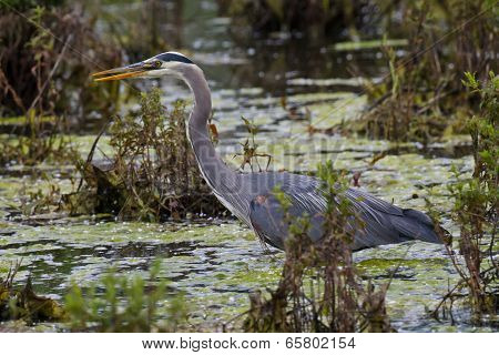 Blue Heron In Marshy Pond