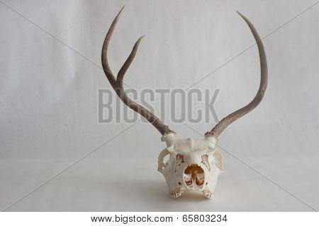 Antlered Deer Skull