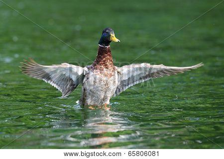 Wild Duck Spreading Wings
